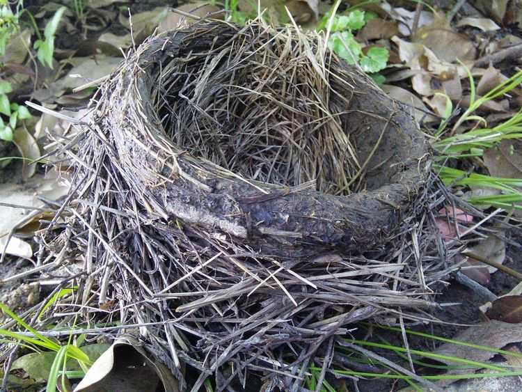 Birds Nest Nature Lover Nature Makes Me Smile Taking Photos What feathered Potter made this nest? No sooner than I sat down to examine my photos, a pair of Robin's flew up looked at me & flew off. Robins are known to build nests in low places but, I've never heard of them building an earth nest or nesting on the ground. I'll check back in a week & see if there are Robin eggs.