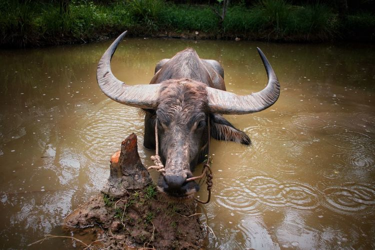 Vietnam Animal Themes Animal Water Vertebrate Mammal Horned Animal Wildlife