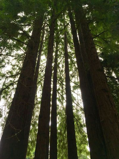 Tall trees in redwood forest in Northern California Redwoods Tree Plant Growth Low Angle View Sunlight Nature Land Shadow No People Forest Beauty In Nature Tree Trunk Trunk Tranquility Day Outdoors Green Color Tall - High Tranquil Scene Branch