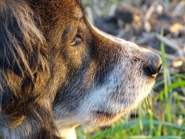 One Animal Animal Themes Focus On Foreground Day Side View No People Outdoors Animals In The Wild Nature Domestic Animals Pet Portraits Hund Tricolor Hütehund Grass Seite Auge Germany Draußen Spaziergang Beobachten Freiheit