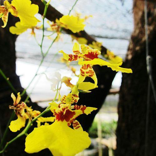 Flowers Orchids Merry Christmas Eve! Thailand_allshots เหลืองสดใส ยามบ่าย...นั่งสบายอีกครึ่งวัน ^^