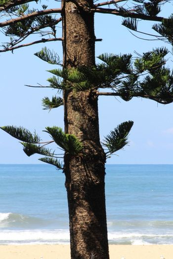 Native Beach Photography Beachphotography Beach Austinmer Norfolk Pines Pine Tree New South Wales  Australia Tree Tree Trunk Nature Beauty In Nature Sea Tranquility Branch Water Outdoors Sky Close-up No People
