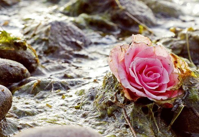 Someone left a rose right next to the lake Taking Photos Seeufer Flowers Beauty In Ordinary Things Nature Rose🌹 Roses Lake Constance