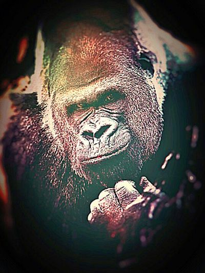 Kansascityzoo Silverback Gorilla Thinkingman Posingforthecamera Awesome Check This Out! Beautiful Calmness Relaxing