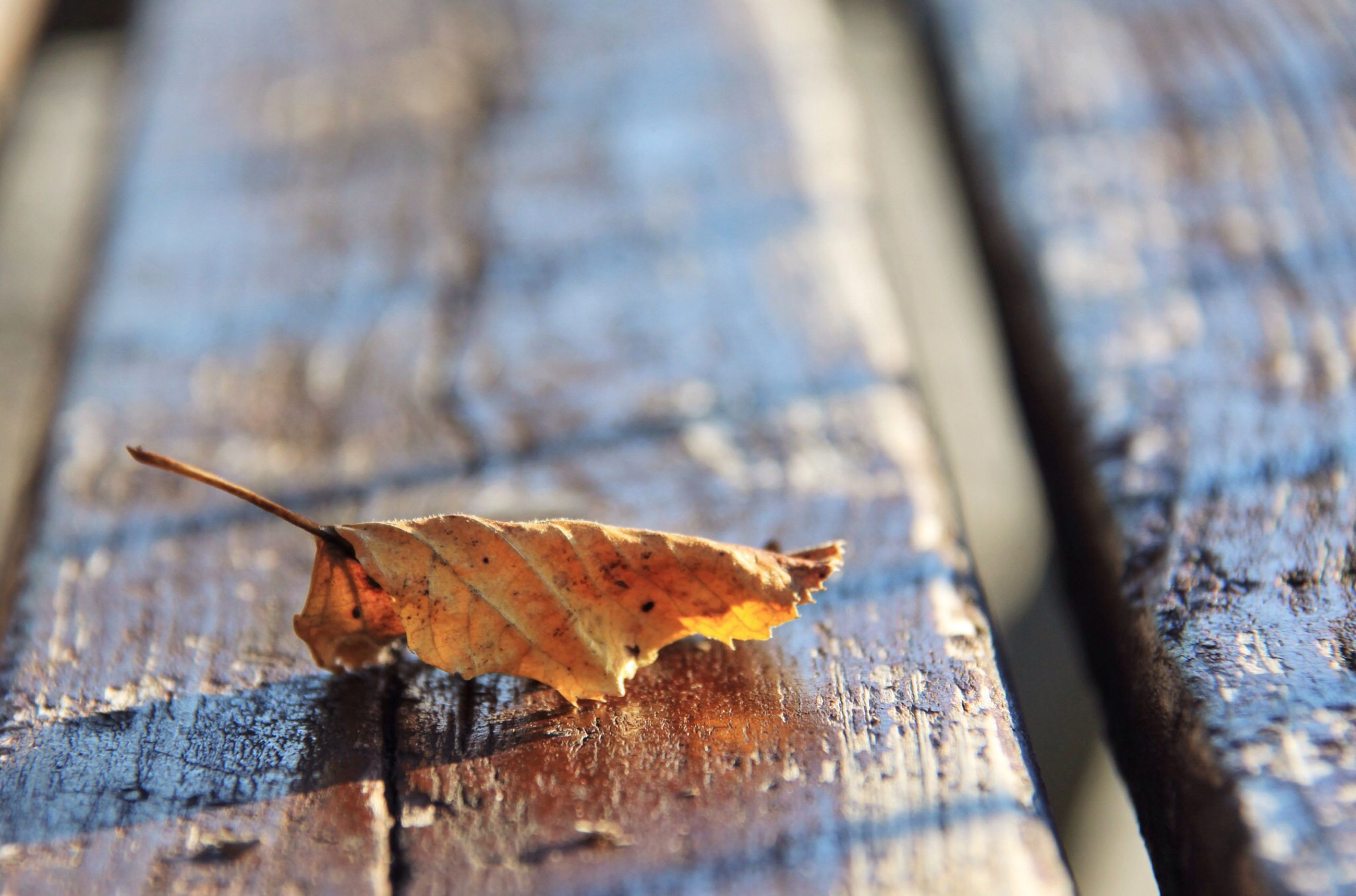 autumn, leaf, change, dry, season, wood - material, leaves, close-up, fallen, maple leaf, selective focus, focus on foreground, plank, nature, outdoors, day, aging process, wooden, leaf vein, wood