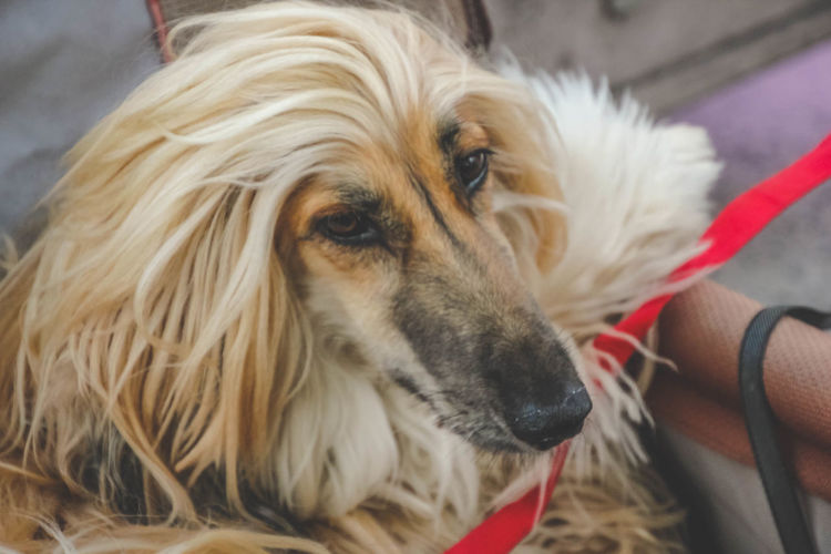 Afghan Hound Animal Themes Canine Close-up Day Dog Domestic Animals Fur Hound Indoors  Long Hair Mammal One Animal Pet Pets Portrait The Portraitist - 2018 EyeEm Awards