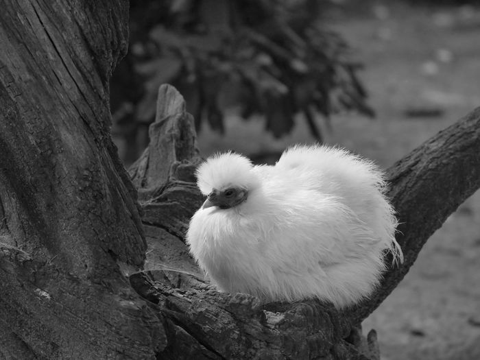 Hen Airy Animals Black And White Farm Life Macro Nature No People Outdoors Tree Trunk Bllack And White Bnw Black & White Farm Animals Home Is Where The Art Is Non Urban Scene Taking Photos From My Point Of View Animal Themes Perspective Black&white Blackandwhite Monochrome Photography