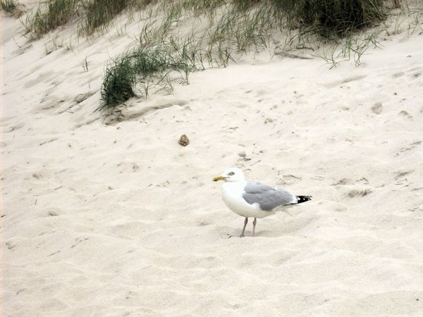 Sand Bird Animals In The Wild Animal Wildlife One Animal Outdoors Beach No People Day Möwe Sea Gull Nordsee Strand Dune Tranquility Standing Alone Vogel Northsea