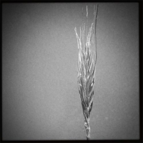 Wheat stalk against the sky Hipstamatic Blackandwhite Black And White Shootermag The Great Outdoors - 2015 EyeEm Awards Monochrome Monochrome Photography