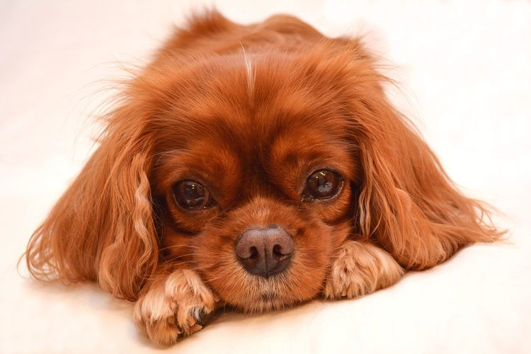 Cavalier King Charles Spaniel Domestic Animals Looking At Camera Dog Pet No People Indoors  Cavalierkingcharles Dogs Of EyeEm Ruby Faye