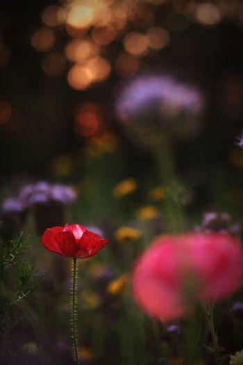 Last Poppy Last