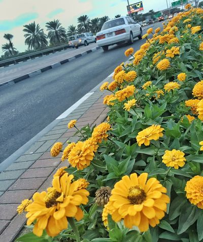 Flowers Flowers,Plants & Garden Yellow Beautiful Beautification Road On The Road Streetphotography Street Botany Lines Traffic Cars Blooming Blossom