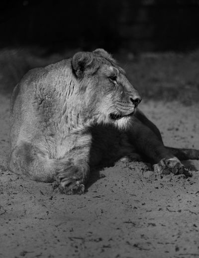 One Animal Animals In The Wild Animal Themes Animal Wildlife Relaxation Nature Close-up Lion Lioness
