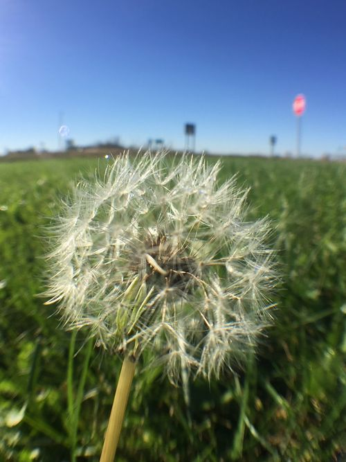 Nature Beauty In Nature Flower Growth Dandelion Fragility Outdoors Freshness Close-up No People Plant Day Flower Head Dandelion Seed Sky