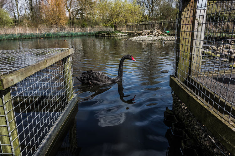 Black swan Beauty In Nature Birds Black Swan Calm Lake Lancashire Martin Mere Nature No People Reflection Rippled Standing Water Tranquil Scene Tranquility Water