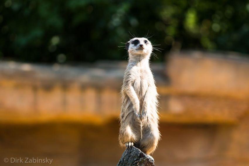 Meerkat Stuttgart Watchman Wilhelma Zoo Animal Themes Animals Take Care For His Family