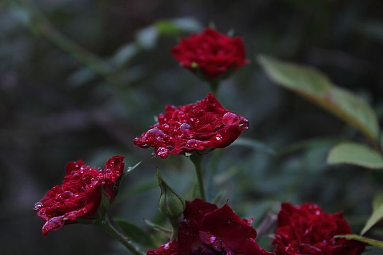 Close-up of red flowers in park
