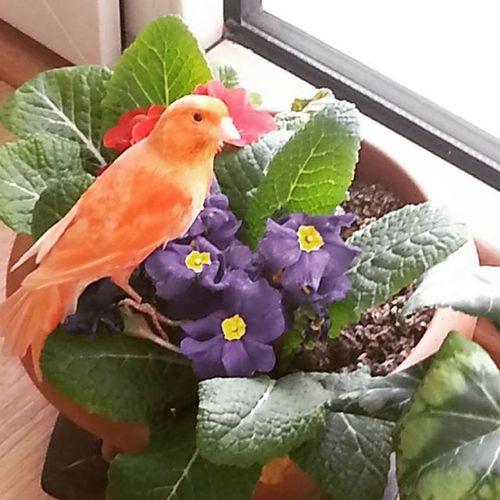 Havuç salonda safaride 😗 Bird Kanarya Kanaryaaski Havuc Animalfotography Birdfotos Ig_turkey Gramhayat Aniyakala Havucuruktan Ig_ksk Ig_animal Ig_birds Hayvanseveninsandasever