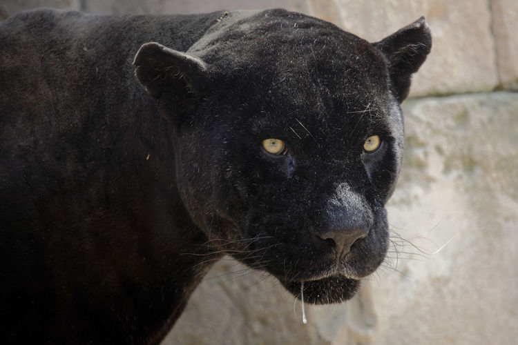 Portrait of a black panther Black Phanter Animal Animal Eye Animal Head  Animal Themes Animal Wildlife Animals In The Wild Bigcat Black Color Close-up Feline Looking At Camera Mammal No People One Animal Panther Pets Portrait Vertebrate