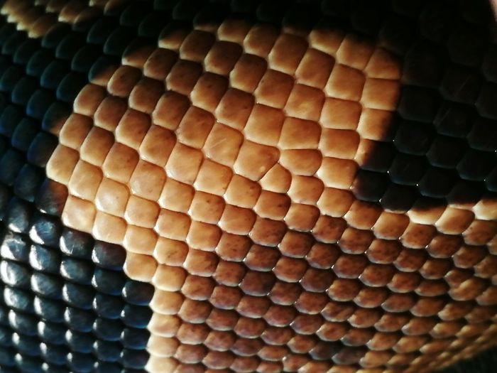 Pattern Indoors  No People Close-up Day Reptile Snake Snakeskin Snake Scales Animal Themes Pet One Animal Animal Wildlife Mammal Macro Python Snakes Scales Scale  Shine ReptilesSnake Skin Snakelover  Nature Break The Mold