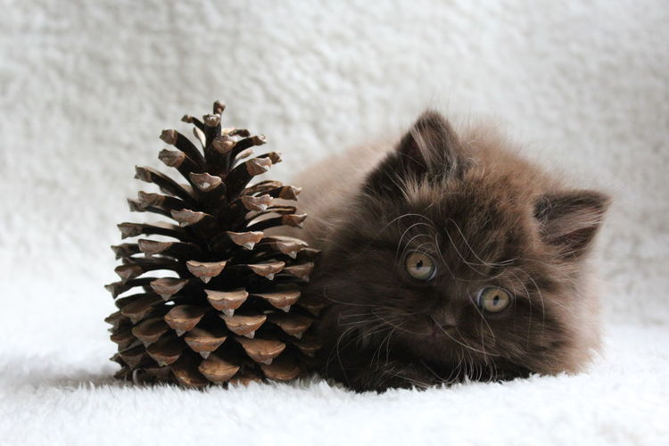 Portrait of british longhair kitten with pine cone lying on bed at home