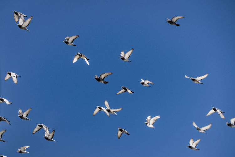 Birds of a Feather Animal Themes Animal Wildlife Bird Clear Sky Day Flock Of Birds Flying Large Group Of Animals Low Angle View Mid-air Nature Spread Wings
