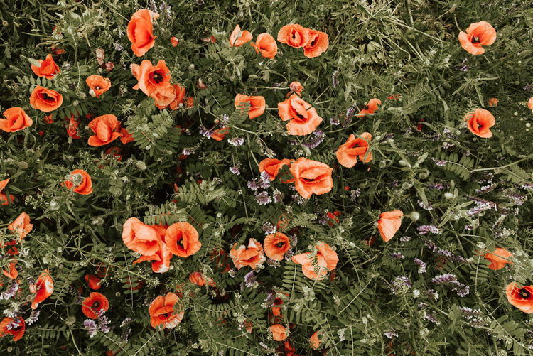 High angle view of orange poppy flowers on field