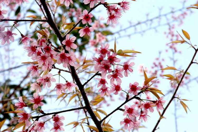 Beauty In Nature Blooming Blossom Botany Branch Close-up Day Flower Flower Head Fragility Freshness Growth Low Angle View Nature No People Outdoors Petal Pink Color Sky Springtime Tree Twig