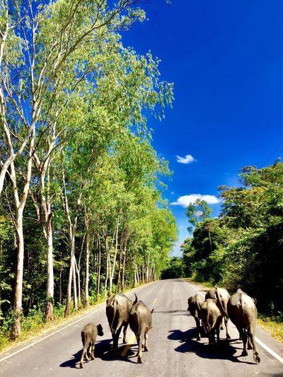 buffalo Buffalo Buffalove Buffalo Thailand