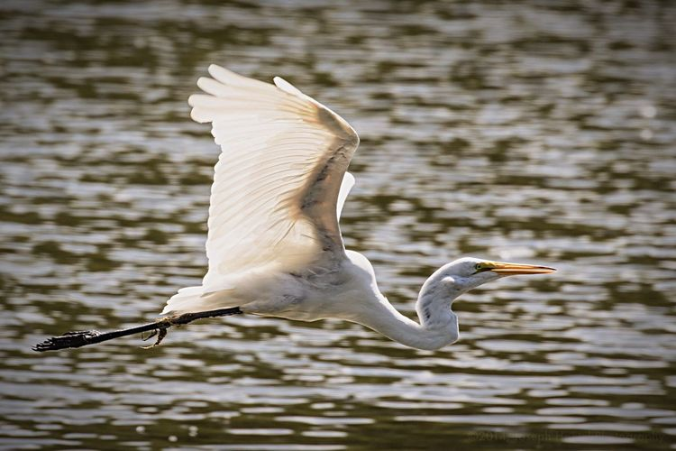 Great white egret in flight Bird Photography Wildlife & Nature Wildlife Bird In Flight