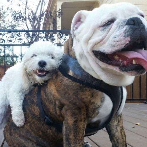 Picsart FURRYFRIENDSFRIDAY Tankthebulldog EnglishBulldog Bullylife Fff Bff Lovemydog Love Bulldog Chokeouttv Chokeoutcancermascot Chokeoutcancer