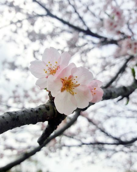 the beauty of nature Spring Flowers Bloom Sakura Beauty In Nature Tree Flower Branch Snow Springtime Winter Cold Temperature Pastel Colored Pink Color Cherry Blossom Cherry Tree Blossom