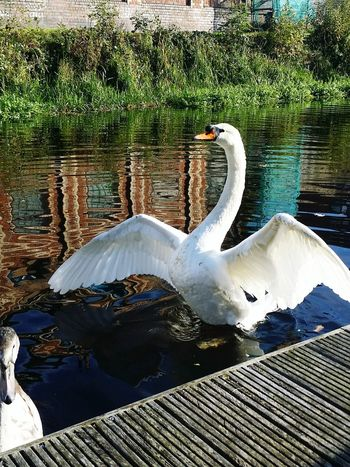 Swan Water Lake Bird Animal Themes White Swan Water Bird