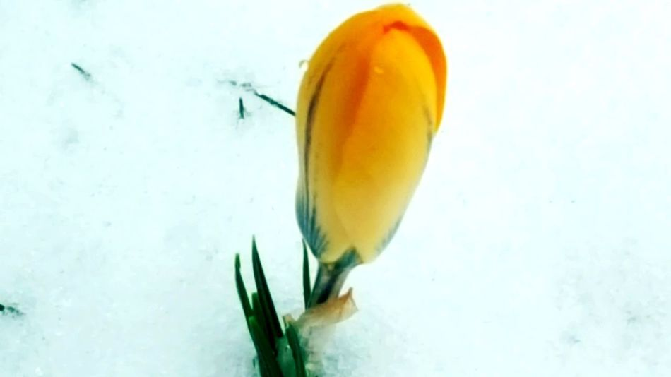 lonely flower Freezing Freezing Cold Cold Temperature Cold Winter ❄⛄ Eiskalt Cold Days Flowersinsnow Blumenimschnee Blumenfotografie Blume Minustemperature Minusdegrees Freshness Flower Nature Fragility No People Close-up Beauty In Nature Growth Outdoors Flower Head
