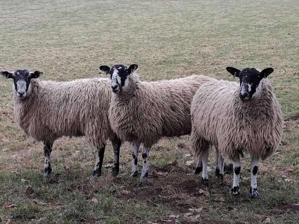 Nature Nature_collection Livestock Eye4photography  Mobilephotography Mobile Photography PhonePhotography Huawei Mate 20 Pro Sheep Looking At Camera Wool Field Agriculture Grass Livestock Flock Of Sheep