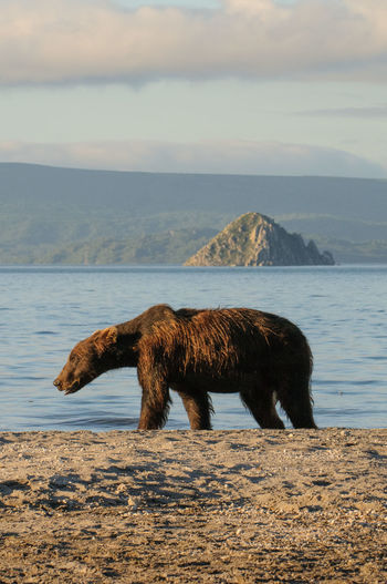 Bear At Lakeshore