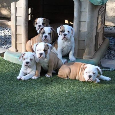 6 of the 7 pack :-) Oneofakindbulldogs Bulldogs Bulldog Oldeenglishbulldogges oldeenglishbulldogge oldenglishbulldogs oldenglishbulldog premierbreeder oeb oebpuppies puppiesforsale cute adorable bulldogpuppies toocute victorianbulldogs bullyinstagram bullyinstafeature insta_dog bullylife keepitbully staybully SoCal californiadreamin SanDiego SD lovemylife love