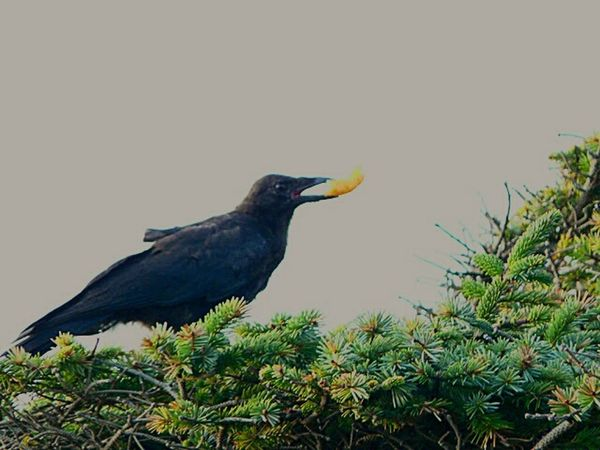 Crow Cheetos Afternoon Snack Birds Life