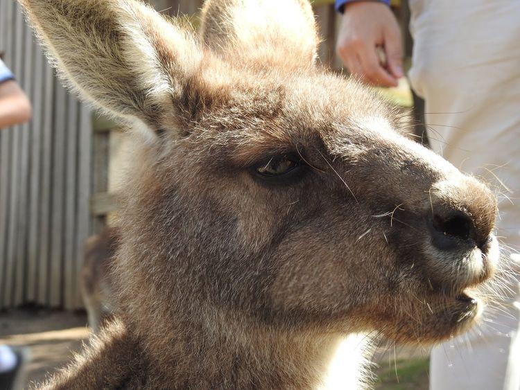 Mammal Animal Themes One Animal Close-up Day Focus On Foreground Livestock Outdoors Pets Portrait Real People Tasmania Kangaroo