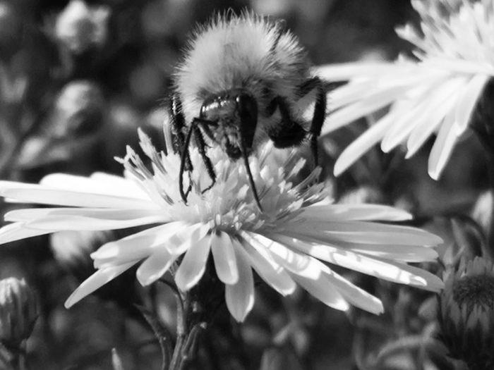 ▫️Bumblebee meets bushy aster▫️ Chrysanthemum Bumblebee First Eyeem Photo Eyemphotography EyEmNewHere Eyemnaturelover Beauty In Nature Blackandwhite Bnw_collection Bnw_friday_eyeemchallenge Bnw_insects EyeEm Selects Flower Head Flower Petal Blossom Insect Macro Close-up