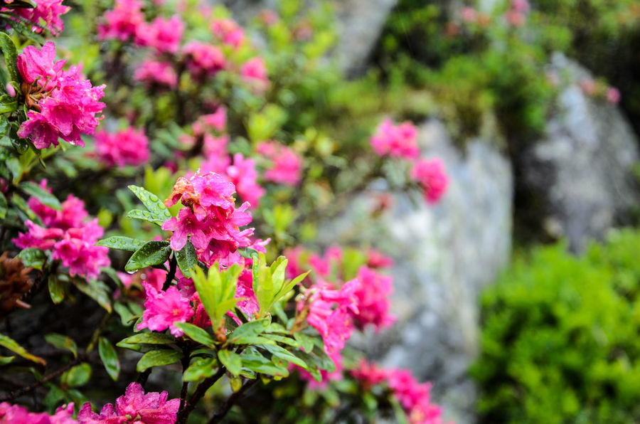 Alpine Rose Alpine Rose Beauty In Nature Blooming Day Flower Flower Head Fragility Freshness Growth Leaf Nature No People Outdoors Petal Petunia Pink Color Plant