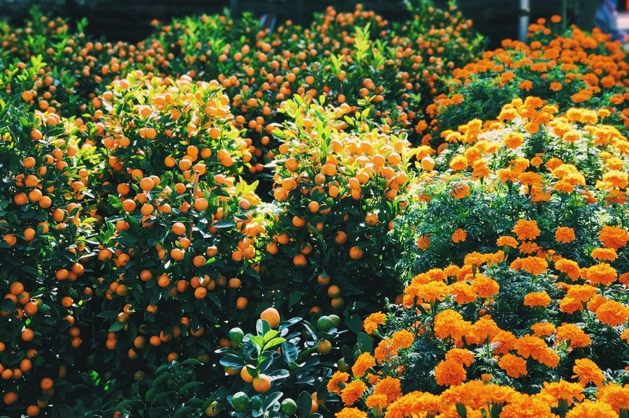 Growth Nature Freshness Flower Beauty In Nature Orange Color Agriculture Abundance Outdoors Day Plant Fruit No People Tree Flower Head Fragility Close-up