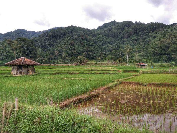 Hutt on the Ricefield Rice Paddy Landscape . Nature Naturelovers Hills at Cibeusi Ciater Subang