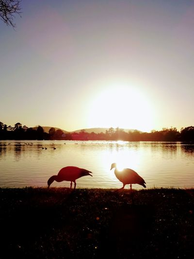 Swans on lake against sky during sunset