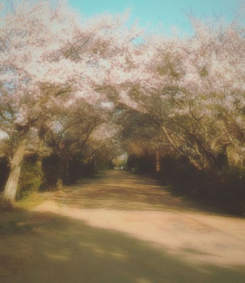 同じところで撮った桜並木の写真(*^^*) Spring  Cherry Blossoms カメラ女子 写真好きな人と繋がりたい 写真撮ってる人と繋がりたい 写真すきな人と繋がりたい 初心者 桜