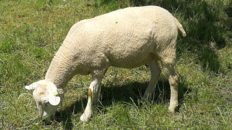 Sheep Sheep Ranch Sheep Wool Sheep@Work Nature Beauty In Nature Backgrounds