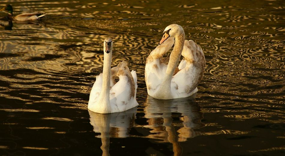 Two swans floating on lake