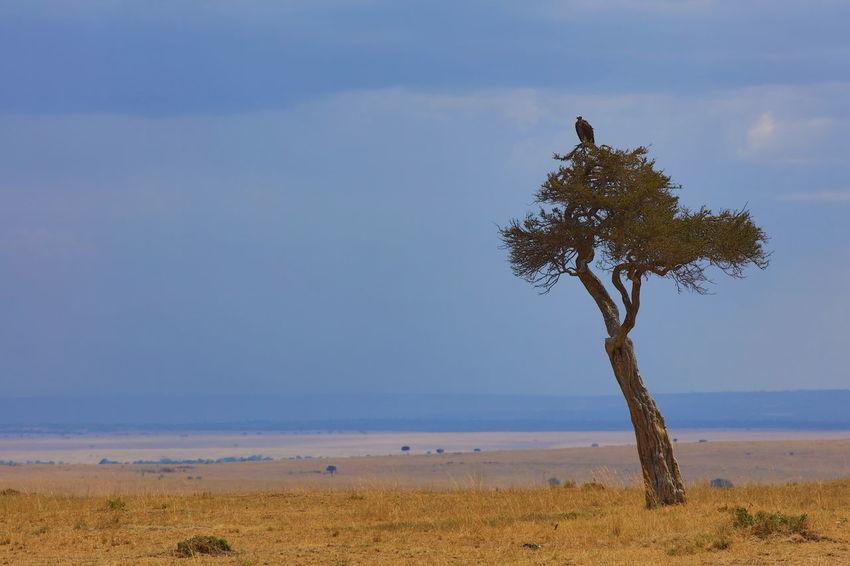 Massai Mara NP, Kenya Calm Endlesness Horizon Over Land Ken Landscape Lappet-faced Vulture Lappet-faced Vulture On A Tree Maasai Mara National Park Majestic National Parks Kenya Simplicity At Its Finest Solitaire Tree Solitude Tranquil Scene Tree Trunk Wideness Wildlife