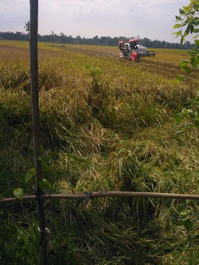 mesin potong padi Combine Harvester Working Tree Rural Scene Farmer Agriculture Cereal Plant Field Agricultural Machinery Plowed Field