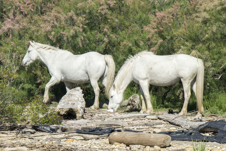 Camargue france. Mammal Animal Themes Domestic Animals No People Outdoors Day Field Nature Beauty In Nature Eyem Nature Camargue Horses Tranquility Eyem Nature Lovers  Tranquil Scene Vacations Tourism Young Animal Animals In The Wild Sunny Day Gviarizzo Two Horses Travel Photography Holiday Travel Destinations White Horse Portrait